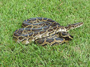 Burmese pythons in Florida - A Burmese python  captured in the Everglades National Park.