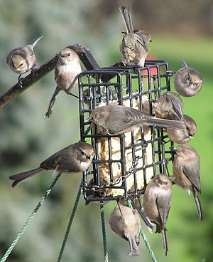 Bird food - Bushtits eating suet from a bird feeder