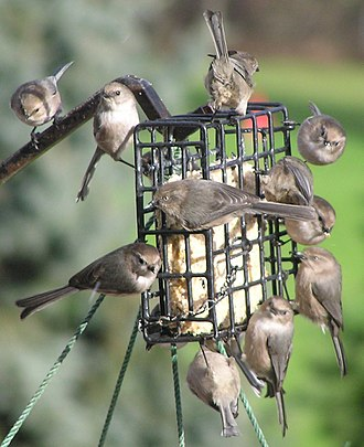 Aegithalidae - In the non-breeding season American bushtit pairs join into large flocks