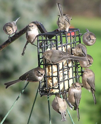 Bushtits mass on a birdfeeder in Salem, Oregon.