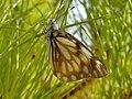 Butterfly rasool.JPG