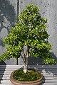 Buxus sempervirens 1zz.jpg