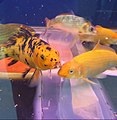 Cá vàng xà cừ Việt Nam (Calico goldfish) ở Bình Tân.jpg