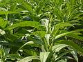 Cây thuốc lào - Nicotiana rustica plant.JPG