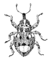 COLE Curculionidae Hiiracalles scitus 2.png