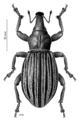COLE Curculionidae Lyperobius clarkei.png