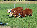 CSIRO ScienceImage 10833 Cattle wearing virtual fencing collars.jpg