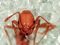 CSIRO ScienceImage 11133 Tropical fire ant.jpg