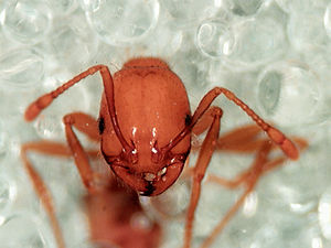 Fire ant - Detail of the head (Solenopsis geminata)