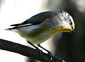 CSIRO ScienceImage 3222 Striated Pardalote.jpg