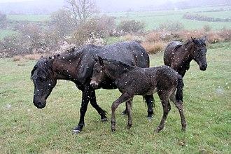 Losino horse - Herd of Losino horses