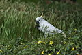 Cacatua galerita -Melbourne -eating seeds-8.jpg