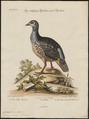 Caccabis petrosa - 1700-1880 - Print - Iconographia Zoologica - Special Collections University of Amsterdam - UBA01 IZ17100305.tif