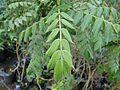 Caesalpiniaceae - Cassia frondosa Aiton (5985941777).jpg