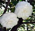 Camellia 'Alba Plena'.JPG