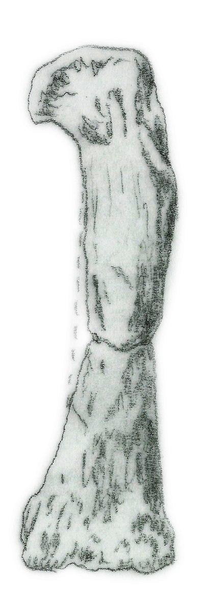 Camelotia borealis femur