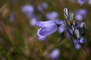 Campanula rotundifolia: Flower