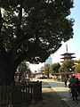 Camphor tree and Gojunoto Tower of Shitennoji Temple.jpg