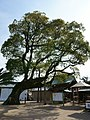 Camphor tree of Nikita Shrine in Morodomi 01.jpg