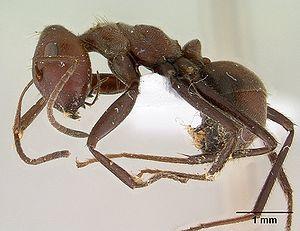 """Präparierte """"Camponotus saundersi"""" -Arbeiterin"""