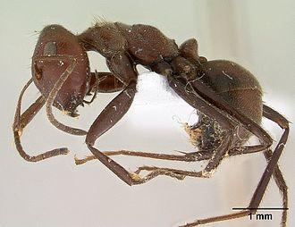 Autothysis - Camponotus saundersi specimen