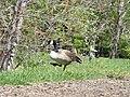 Canada Goose (33456311093).jpg