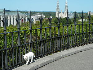 Canadian Parliamentary Cats - Snowball, one of the strays.