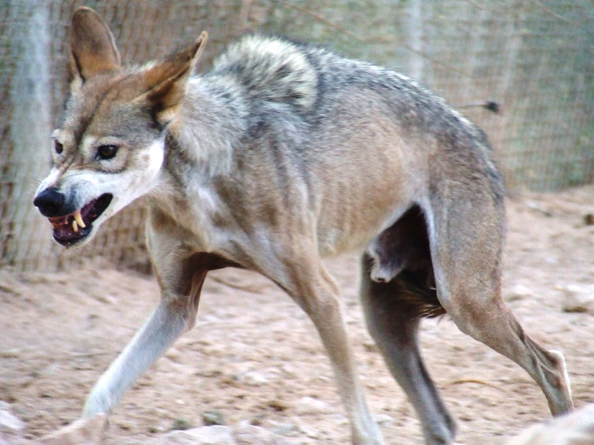 Mixers Mixers Vicking Vs Wolf ~ Аравийский волк — Википедия