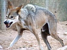 male wolf in a defensive posture