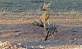 Cape Foxes (Vulpes chama) (6499458625).jpg