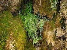 Il tipico habitat del capelvenere Parco dei Nebrodi