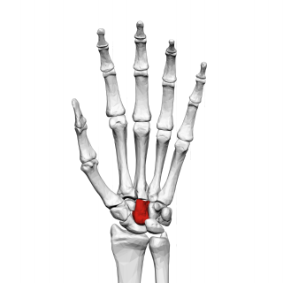 Capitate bone bone of the wrist