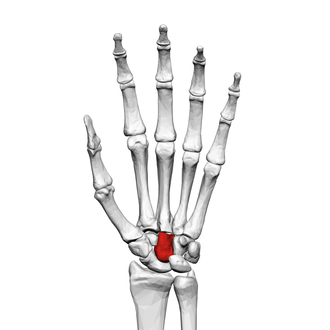Capitate bone - Left hand anterior view (palmar view). Capitate-bone shown in red.
