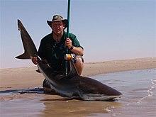 Pêcheur, agenouillé sur une plage, tenant par les nageoires un jeune Requin cuivre posé sur le sable.
