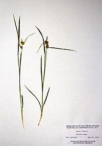 Carex flava BW-1979-0522-0290.jpg