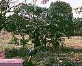 Carica papaya 2.jpg