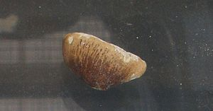Carinodens - Tooth of C. fraasi.
