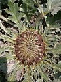Carlina acanthifolia 02.JPG