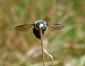 Carpenter bee (Xylocopa species) W IMG 3522.jpg