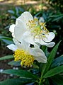 Carpenteria californica - Mildred E. Mathias Botanical Garden - University of California, Los Angeles - DSC02973.jpg