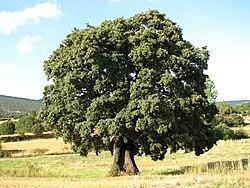 Quercus ilex wikipedia la enciclopedia libre for Arboles de hoja perenne para clima continental