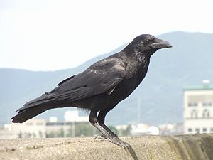 Eastern carrion crow - Corvus corone orientalis in Aomori, Japan.