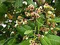 Cashew tree (Anacardium occidentale). കശുമാവ്.Flower 3.jpg