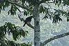 Cassin's Hawk-Eagle - Ghana.jpg