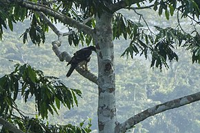 Description de l'image Cassin's Hawk-Eagle - Ghana.jpg.