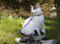 Cat, Lead and Converse Shoes (8208704568).jpg