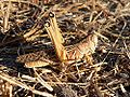 Cataloipus cymbiferus female.jpg