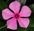Catharanthus roseus 20D 0002.jpg