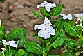 Catharanthus roseus white and red 18042014 (2).jpg