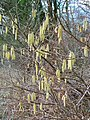Catkins, Pits Wood - geograph.org.uk - 1704257.jpg